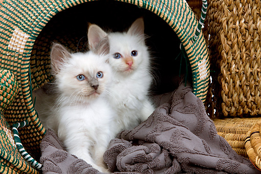 CAT 03 JE0008 01 © Kimball Stock Two Birman Kittens Sitting In Basket On Gray Blanket