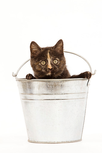 CAT 03 JE0010 01 © Kimball Stock Tortie British Shorthair Sitting In Metal Bucket On White Seamless