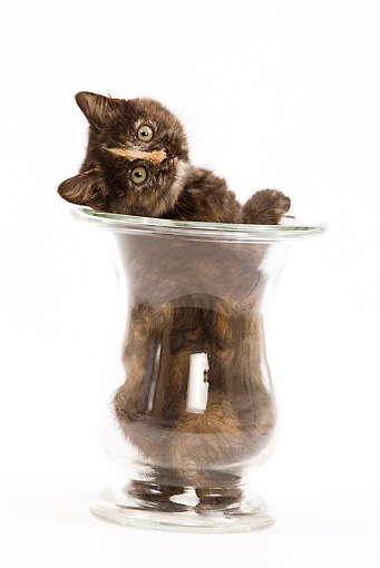 CAT 03 JE0011 01 © Kimball Stock Tortie British Shorthair Sitting In Glass Vase On White Seamless