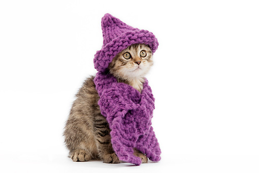 CAT 03 JE0012 01 © Kimball Stock Tabby British Shorthair Sitting Wearing Purple Hat And Scarf On White Seamless