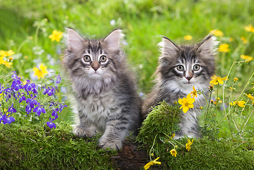 CAT 03 JE0013 01 © Kimball Stock Two Norwegian Forest Kittens Sitting By Mossy Log And Flowers