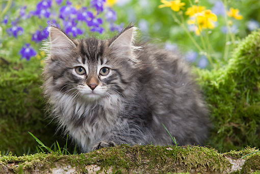 CAT 03 JE0014 01 © Kimball Stock Norwegian Forest Kitten Sitting By Mossy Log And Flowers