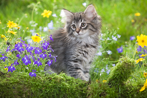 CAT 03 JE0015 01 © Kimball Stock Norwegian Forest Kitten Sitting By Mossy Log And Flowers