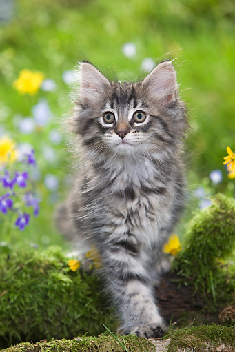 CAT 03 JE0016 01 © Kimball Stock Norwegian Forest Kitten Standing By Mossy Log And Flowers