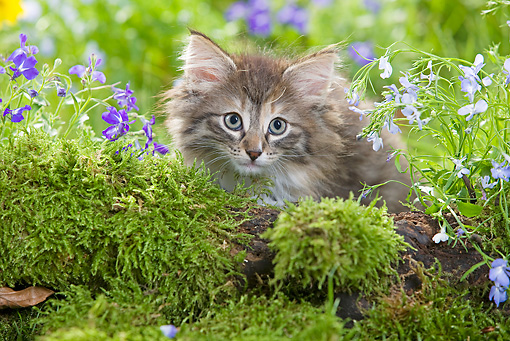 CAT 03 JE0017 01 © Kimball Stock Norwegian Forest Kitten Laying By Mossy Log And Flowers