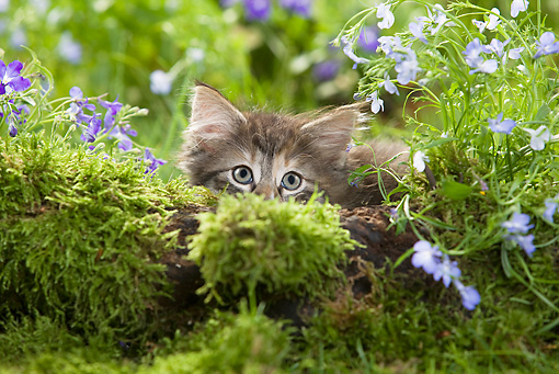 CAT 03 JE0018 01 © Kimball Stock Norwegian Forest Kitten Crouching Behind Mossy Log And Flowers