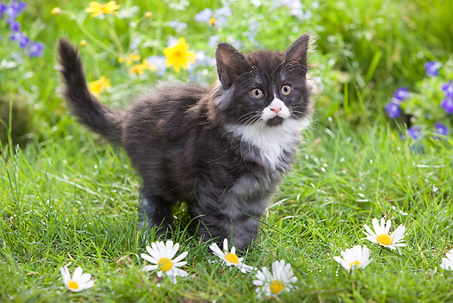 CAT 03 JE0020 01 © Kimball Stock Norwegian Forest Kitten Standing On Grass By Flowers