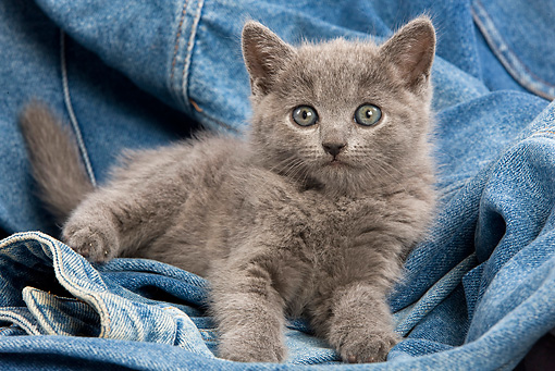 CAT 03 JE0031 01 © Kimball Stock Chartreux Kitten Laying On Jeans