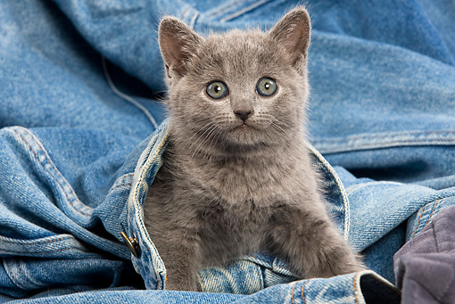 CAT 03 JE0032 01 © Kimball Stock Chartreux Kitten Sitting On Jeans