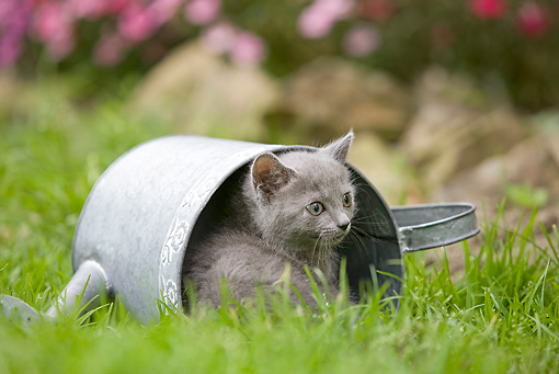 CAT 03 JE0034 01 © Kimball Stock Chartreux Kitten Laying In Watering Can On Grass