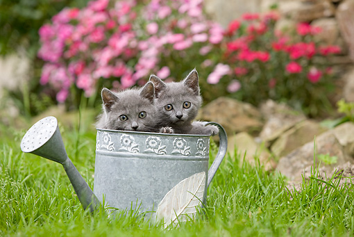 CAT 03 JE0035 01 © Kimball Stock Chartreux Kittens Peeking Out Of Watering Can On Grass