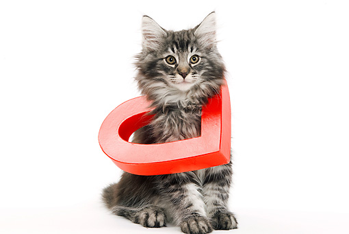 CAT 03 JE0036 01 © Kimball Stock Norwegian Forest Cat Kitten Sitting With Red Heart Around Neck On White Seamless
