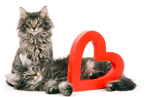 CAT 03 JE0037 01 © Kimball Stock Norwegian Forest Cat Kittens Sitting With Red Heart On White Seamless