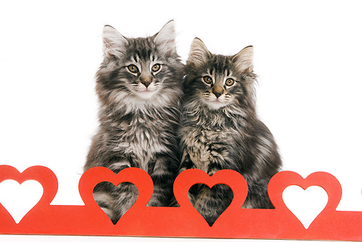 CAT 03 JE0038 01 © Kimball Stock Norwegian Forest Cat Kittens Sitting With Red Hearts On White Seamless