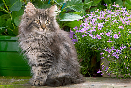 CAT 03 JE0044 01 © Kimball Stock Norwegian Forest Cat Kitten Sitting In Garden