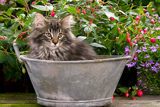 CAT 03 JE0046 01 © Kimball Stock Norwegian Forest Cat Kitten Sitting In Metal Bowl In Garden