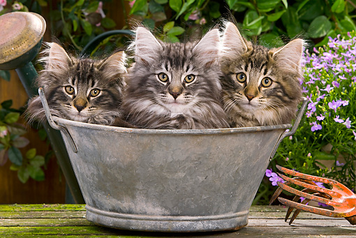 CAT 03 JE0047 01 © Kimball Stock Norwegian Forest Cat Kittens Sitting In Metal Bowl In Garden