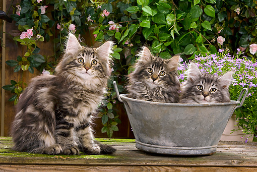 CAT 03 JE0048 01 © Kimball Stock Norwegian Forest Cat Kittens Sitting With Metal Bowl In Garden