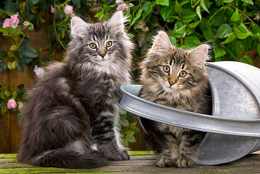 CAT 03 JE0049 01 © Kimball Stock Norwegian Forest Cat Kittens Sitting With Metal Watering Can In Garden