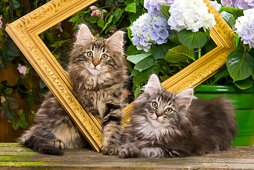 CAT 03 JE0050 01 © Kimball Stock Norwegian Forest Cat Kittens Sitting With Picture Frame In Garden