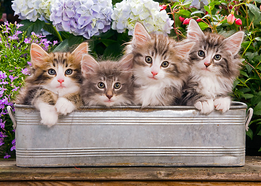 CAT 03 JE0051 01 © Kimball Stock Norwegian Forest Cat Kittens Sitting In Metal Planter In Garden