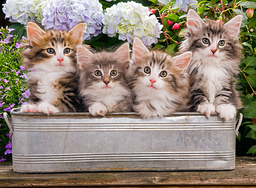CAT 03 JE0052 01 © Kimball Stock Norwegian Forest Cat Kittens Sitting In Metal Planter In Garden