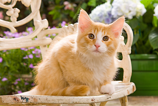CAT 03 JE0054 01 © Kimball Stock Norwegian Forest Cat Kitten Sitting On Chair In Garden