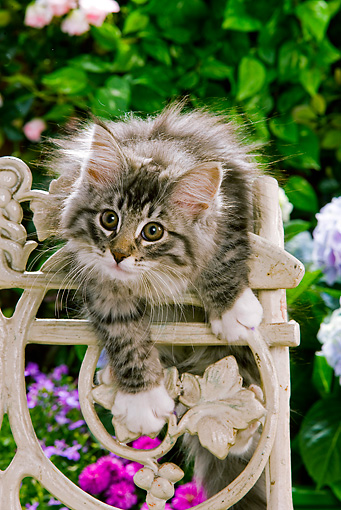 CAT 03 JE0058 01 © Kimball Stock Norwegian Forest Cat Kitten Climbing On Chair In Garden