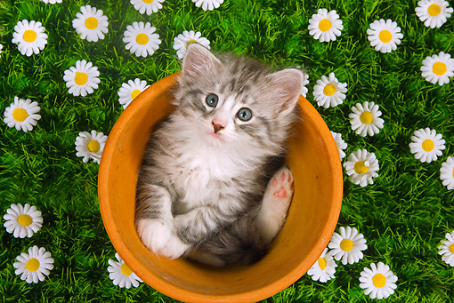 CAT 03 JE0059 01 © Kimball Stock Norwegian Forest Cat Kitten Sitting In Flower Pot