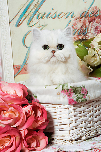 CAT 03 JE0063 01 © Kimball Stock Chinchilla Persian Kitten Sitting In Basket By Flowers