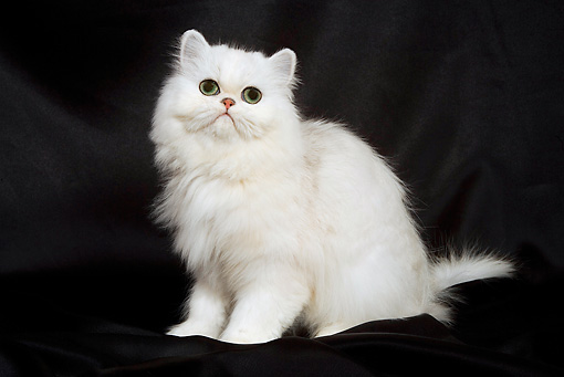 CAT 03 JE0064 01 © Kimball Stock Chinchilla Persian Kitten Sitting On Black Cloth