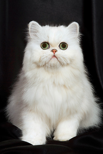 CAT 03 JE0065 01 © Kimball Stock Chinchilla Persian Kitten Sitting On Black Cloth
