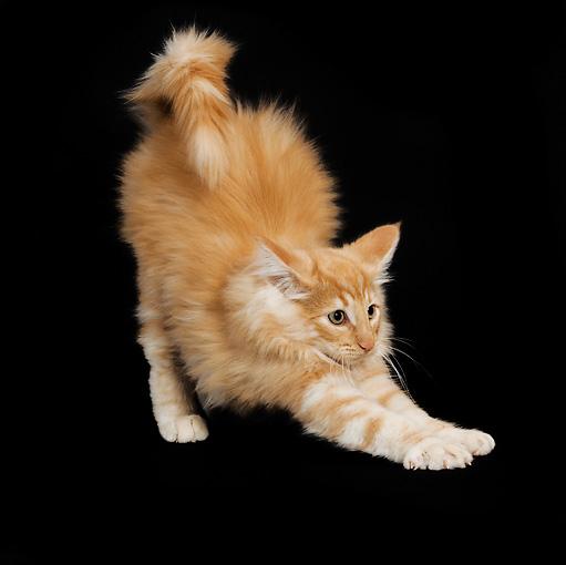 orange norwegian forest kittens wwwpixsharkcom