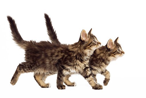 CAT 03 JE0075 01 © Kimball Stock Norwegian Forest Cat Kittens Walking On White Seamless