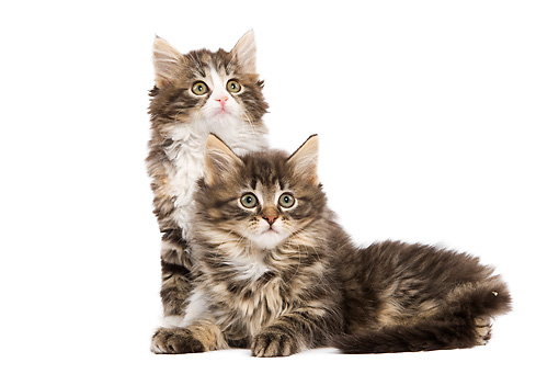 CAT 03 JE0076 01 © Kimball Stock Norwegian Forest Cat Kittens Sitting On White Seamless