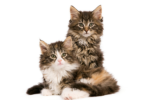 CAT 03 JE0077 01 © Kimball Stock Norwegian Forest Cat Kittens Sitting On White Seamless