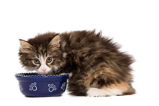 CAT 03 JE0078 01 © Kimball Stock Norwegian Forest Cat Kitten Crouching On White Seamless By Food Bowl