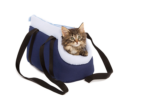 CAT 03 JE0079 01 © Kimball Stock Norwegian Forest Cat Kitten Peeking Out Of Blue Bag On White Seamless