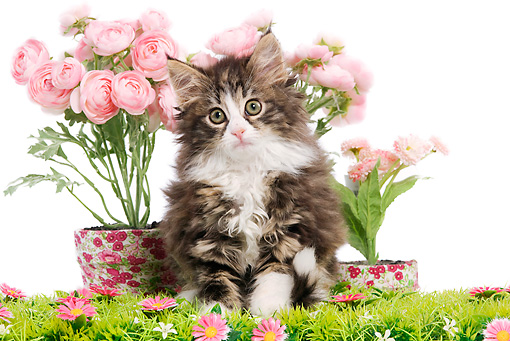 CAT 03 JE0081 01 © Kimball Stock Norwegian Forest Cat Kitten Sitting By Pink Flowers On White Seamless