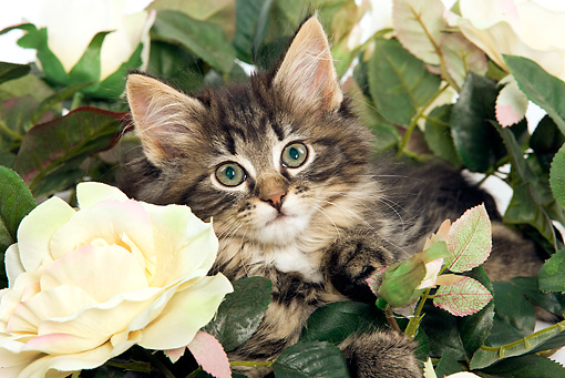 CAT 03 JE0082 01 © Kimball Stock Norwegian Forest Cat Kitten Sitting In Rose Bush