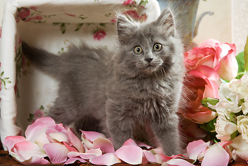 CAT 03 JE0088 01 © Kimball Stock Grey Kitten Standing On Pink Rose Petals