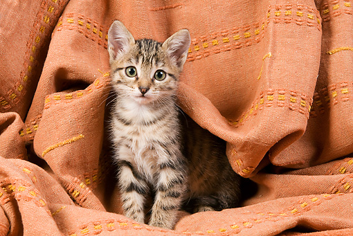 CAT 03 JE0093 01 © Kimball Stock Tabby Kitten Sitting On Orange Cloth