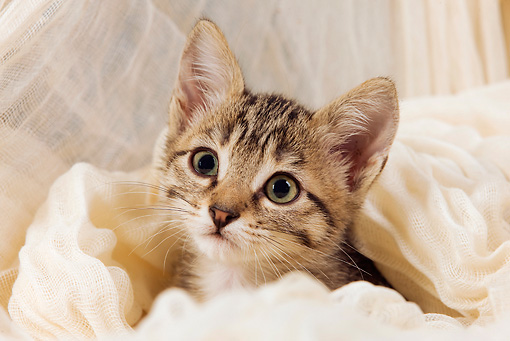 CAT 03 JE0094 01 © Kimball Stock Tabby Kitten Sitting Peeking Out Of White Cloth