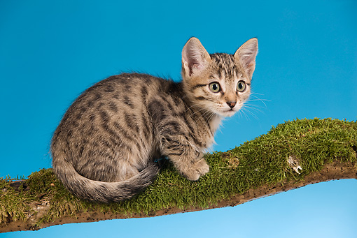 CAT 03 JE0096 01 © Kimball Stock Tabby Kitten Sitting On Mossy Branch