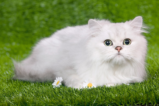 CAT 03 JE0105 01 © Kimball Stock Persian Chinchilla Kitten Laying On Grass With Daisies