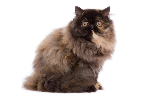 CAT 03 JE0111 01 © Kimball Stock Tricolor Persian Kitten Sitting On White Seamless