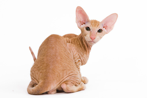 CAT 03 JE0115 01 © Kimball Stock Orange Peterbald Kitten Sitting On White Seamless Looking Back