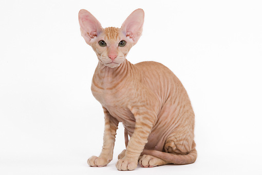 CAT 03 JE0116 01 © Kimball Stock Orange Peterbald Kitten Sitting On White Seamless