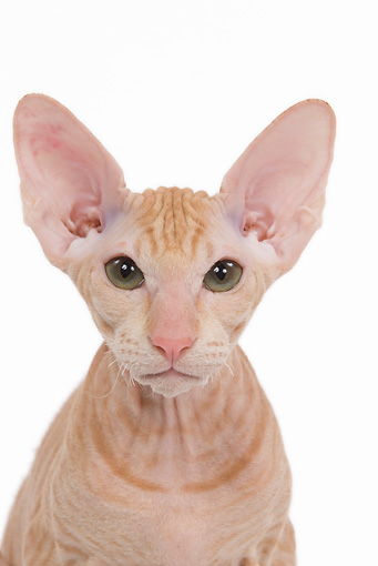 CAT 03 JE0118 01 © Kimball Stock Head Shot Of Orange Peterbald Kitten Sitting On White Seamless