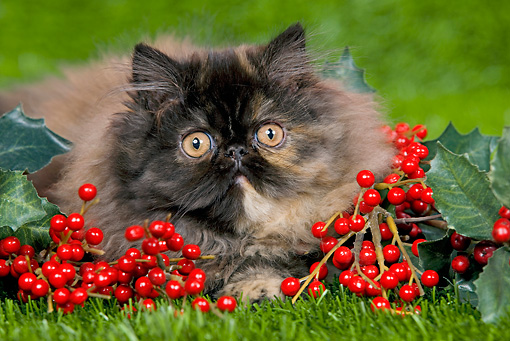 CAT 03 JE0119 01 © Kimball Stock Persian Chinchilla Kitten Laying On Grass With Holly